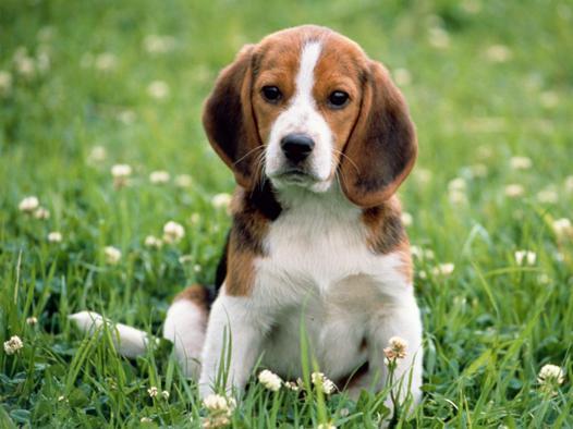 beagle caractère