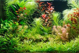 plante aquatique aquarium