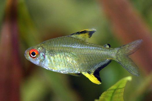 tetra poisson